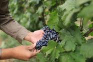 葡萄产业,酿出甜蜜生活