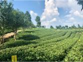 """贵州核桃坝:""""中国西部生态茶叶第一村""""是怎样炼成的"""