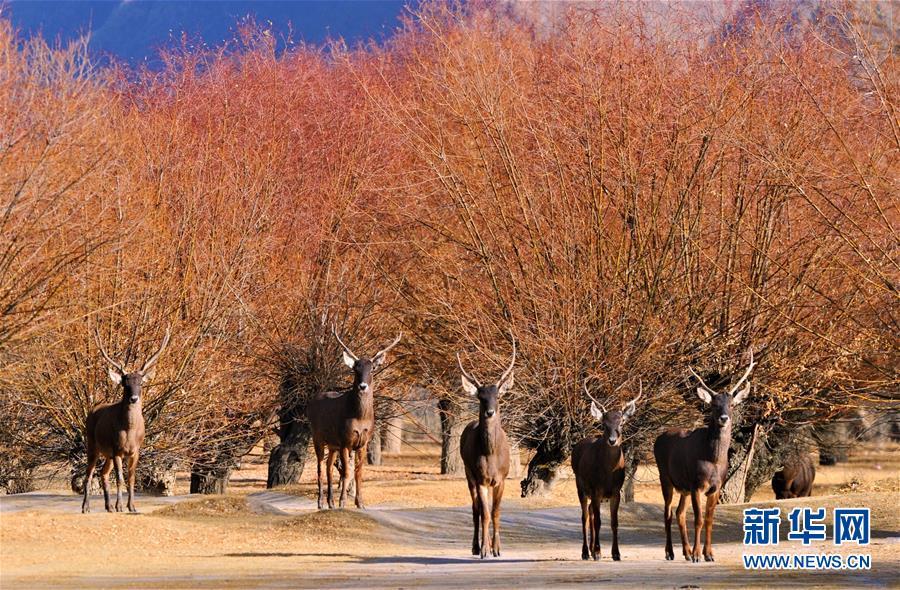 (决战决胜脱贫攻坚·图文互动)(7)荒漠变绿洲 穷乡变富地——雅鲁藏布江山南段40年造林治沙报告