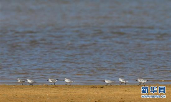(环境)(2)海南儋州:光村银滩候鸟飞