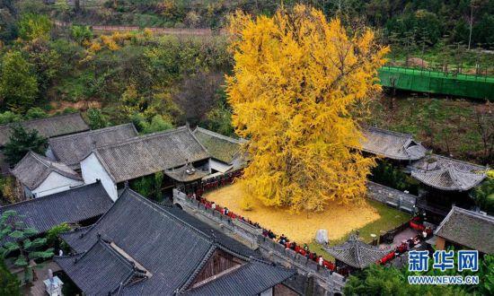 (美丽中国)(4)千年银杏立古刹 叶随风雨满地金