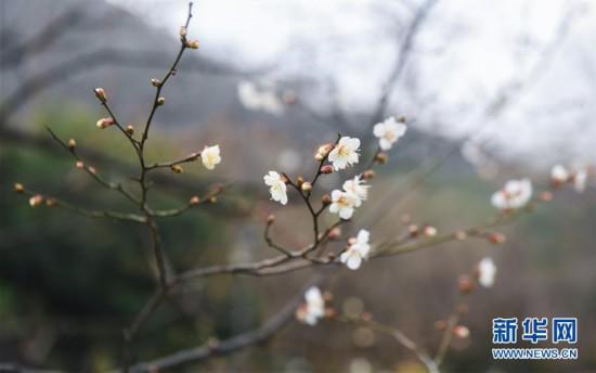 (美丽中国)(1)江南赏梅胜地开启迎春赏梅季