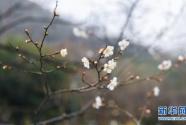 江南赏梅胜地开启迎春赏梅季