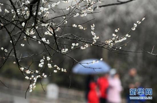 (环境)(3)贵州荔波:赏梅好时节