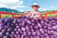茄子丰收农民乐