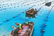 鲍鱼收获季 海上采收忙