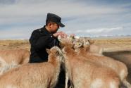 """可可西里的藏羚羊""""幼兒園"""""""